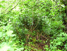 spurge laurel is a noxious weed in pierce county