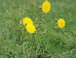 perrenial sowthistle