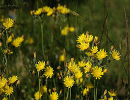 yellow devil hawkweed