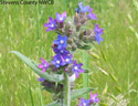 common bugloss of pierce co weed list