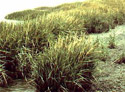 common cordgrass