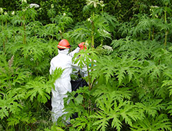 giant hogweed in pierce county