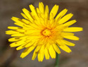 Common Hawkweed