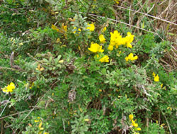 state weed - french broom